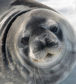 A Weddell seal near McMurdo Station, Antarctica