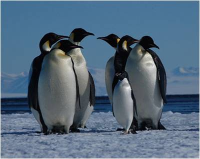 Emperor penguin size comparison - photo#22