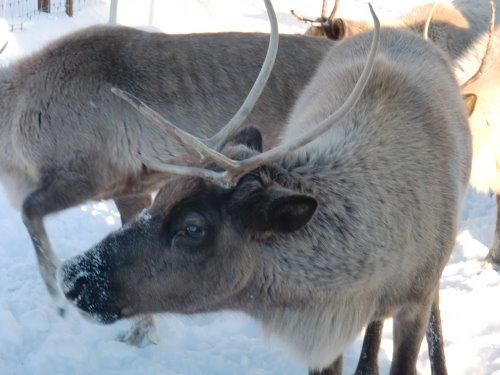 Reindeer at the UAF Reindeer Research Program