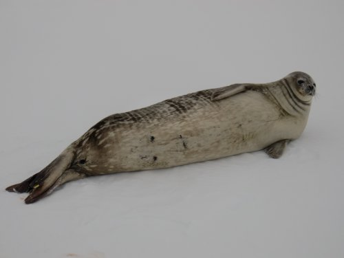 Weddell seal with an old coat