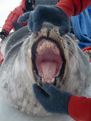 17 February 2016 Weddell Seal Teeth | PolarTREC