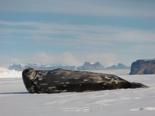 Weddell seal with a new fur coat