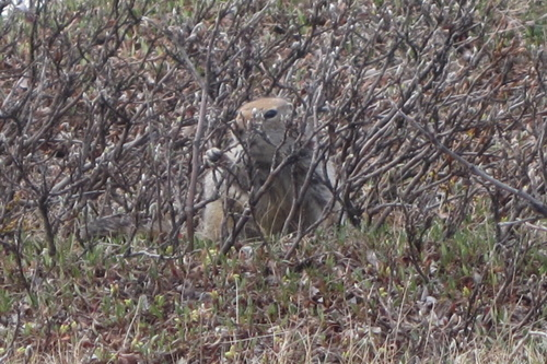 Arctic Ground Squirrel eats willows