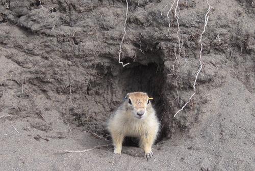 Arctic ground squirrel in burrow