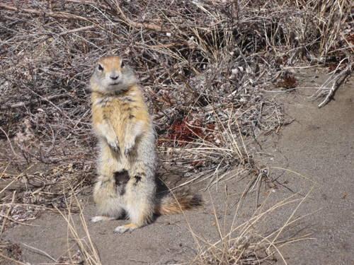 Standing Arctic ground squirrel