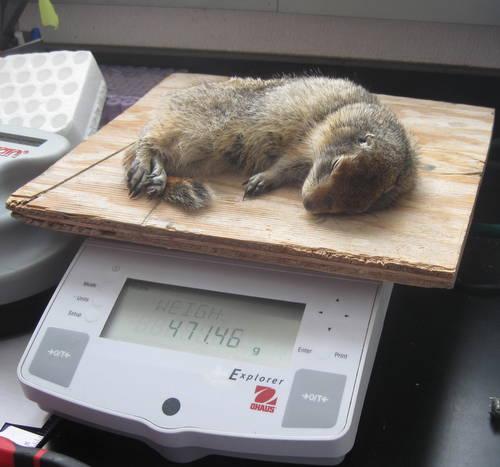 Weigh squirrel
