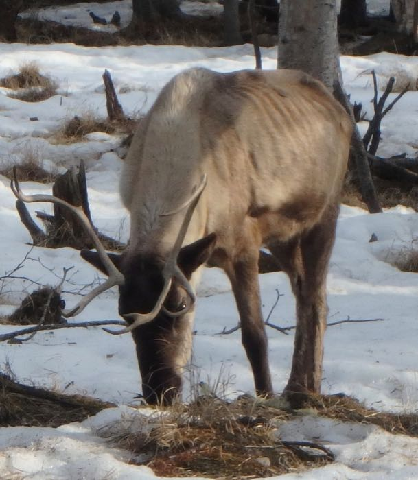 Reindeer at Chena Hot Springs