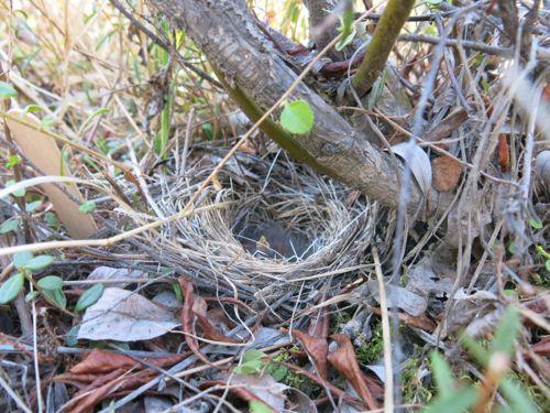 Sparrow nestling