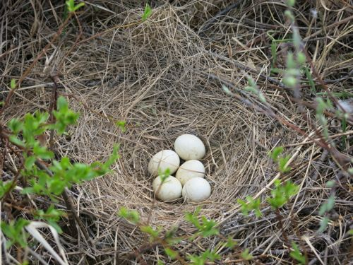 Northern Harrier nest