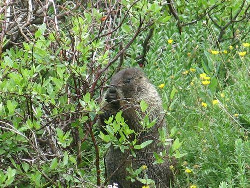 grizzly marmot