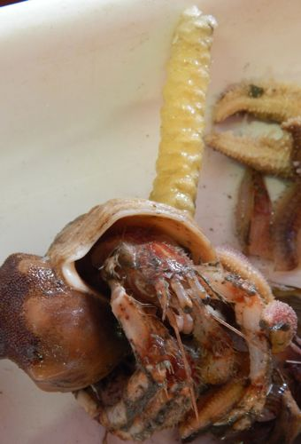 Egg case on top of a hermit crab