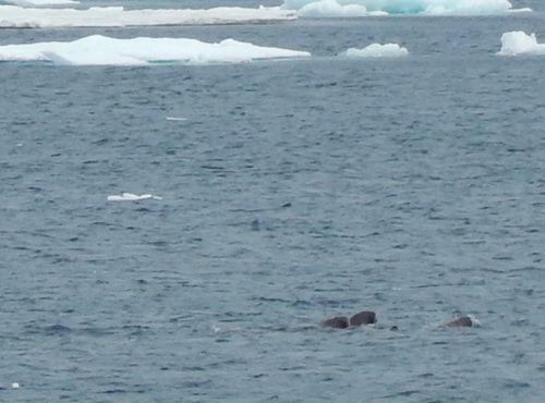 Three walrus in the water