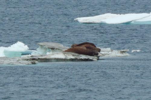 Walrus lying on ice.