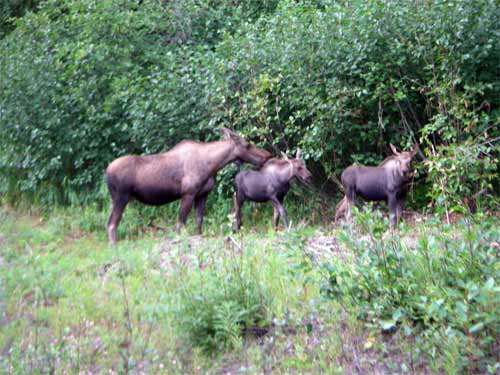 Moose by the higway