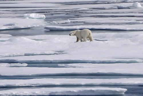 Polar Bear Zoom