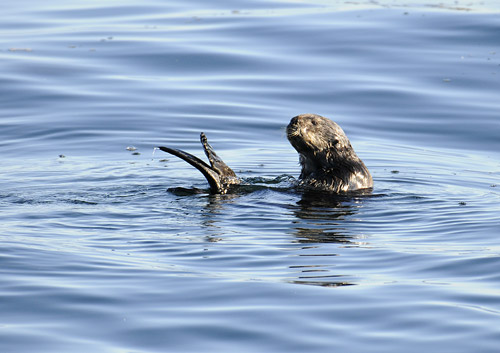 Sea Otter Spying