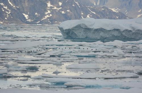 Ice and Eiders, Skjoldungensund, Greenland