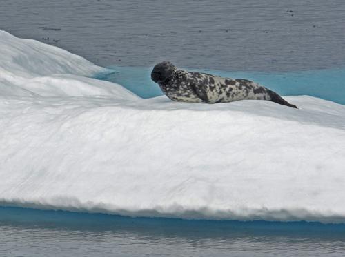 Male Hooded Seal, Skjoldungensund, Greenland