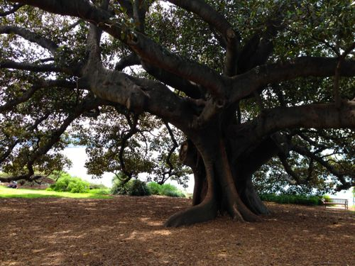 Fica Tree in Royal Botanical Gardens