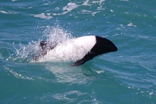 Commerson's dolphin beak