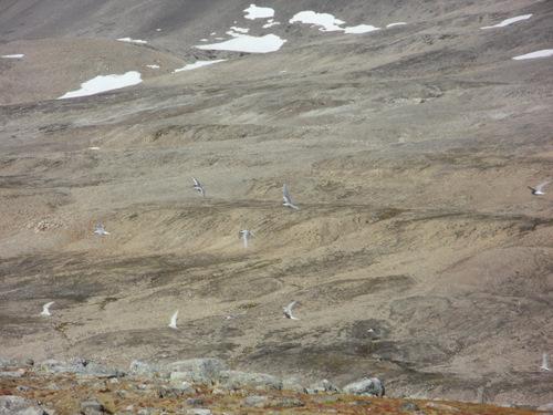Many arctic terns.