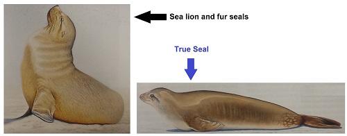 Seal vs sea lion