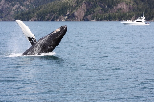 Whales jumping out of water next to surfer - photo#12