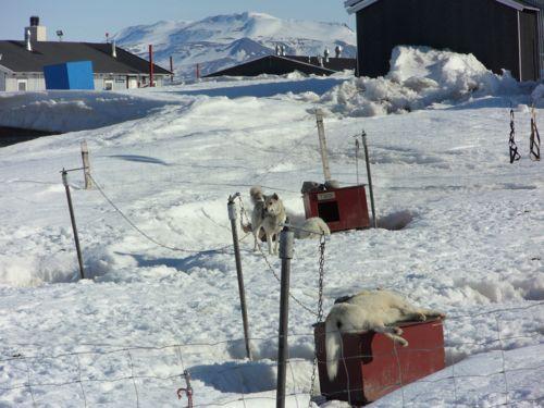 Very tired huskies at the Sirius Sledge Patrol in Daneborg, Greenland