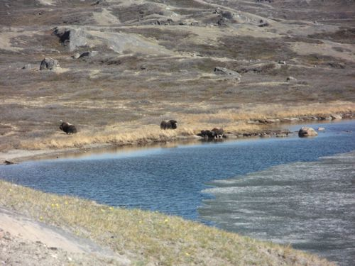 Musk Ox at Lake Ferguson