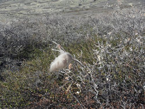 Musk Ox hiar on bush. They must be close!