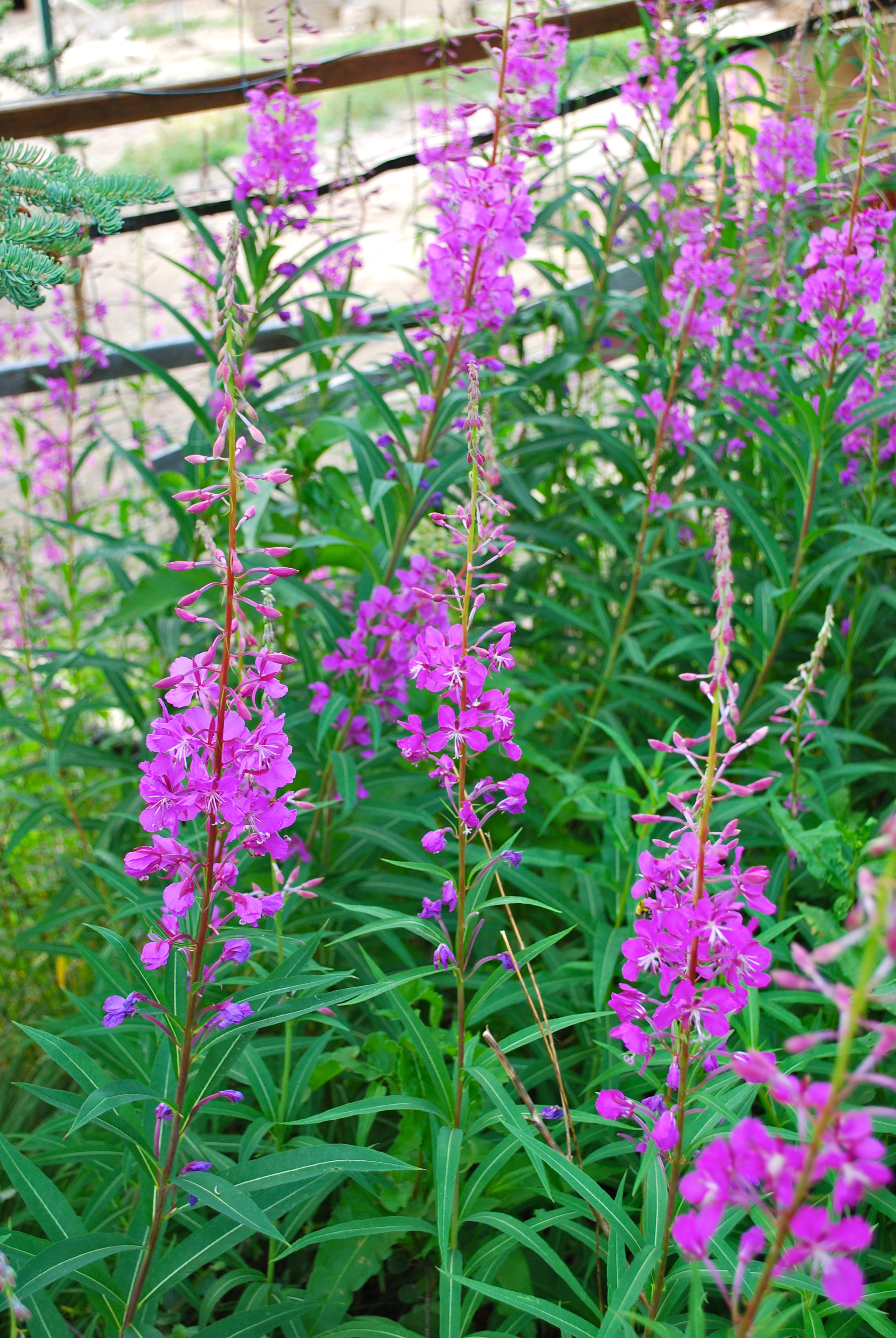 fireweed family members Epilobium: epilobium,, genus of about 200 plants, in the evening primrose family (onagraceae), native to most temperate regions it includes fireweed (qv species e angustifolium), which rapidly covers newly burned areas.