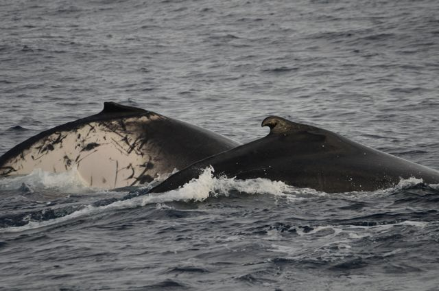 an overview of the humpback whales The specimen used by borowski in his description of the species in 1781  the  humpback whale is one of the best-known and most easily recognizable of the.