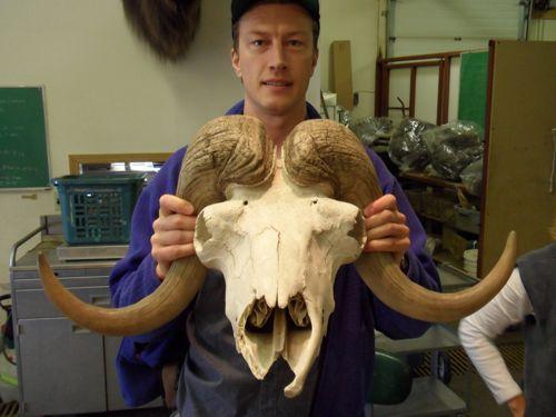 Musk Ox skull