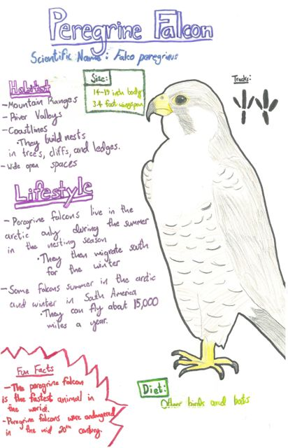 peregrine falcon species journal
