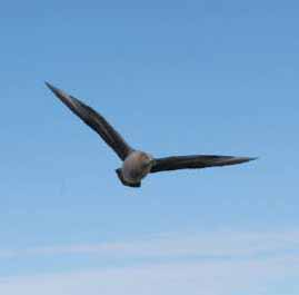 Antarctic Skua.