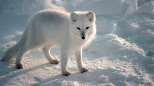 Icelandic Arctic Fox. Photo credit: animalsadda.com