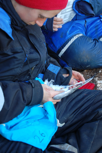 taking a blood sample from a kittiwake