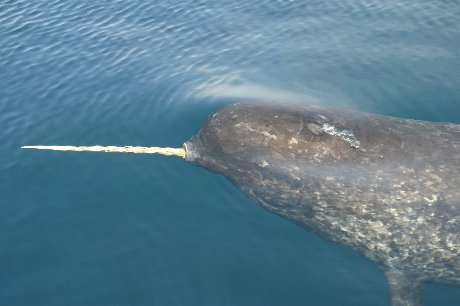 Baby Narwhal Whale narwhal