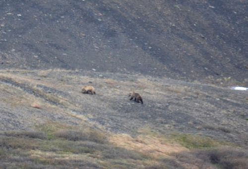 Grizzly bears on Mount Slope