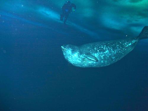Weddell swimming