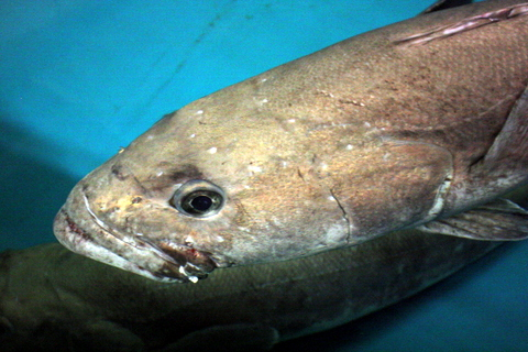 Toothfish 4