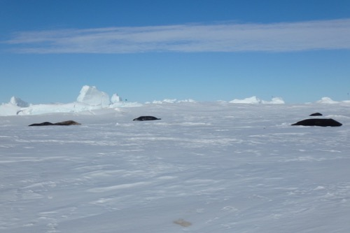 Seals on sea ice
