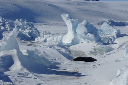 Weddell seals near pressure ridges.