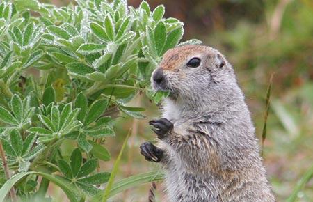 The Arctic Ground Squirrel.