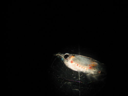 Krill (Half of one!)