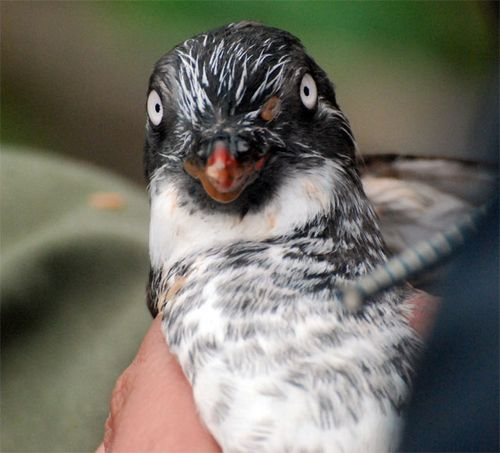 Meet a Least Auklet!