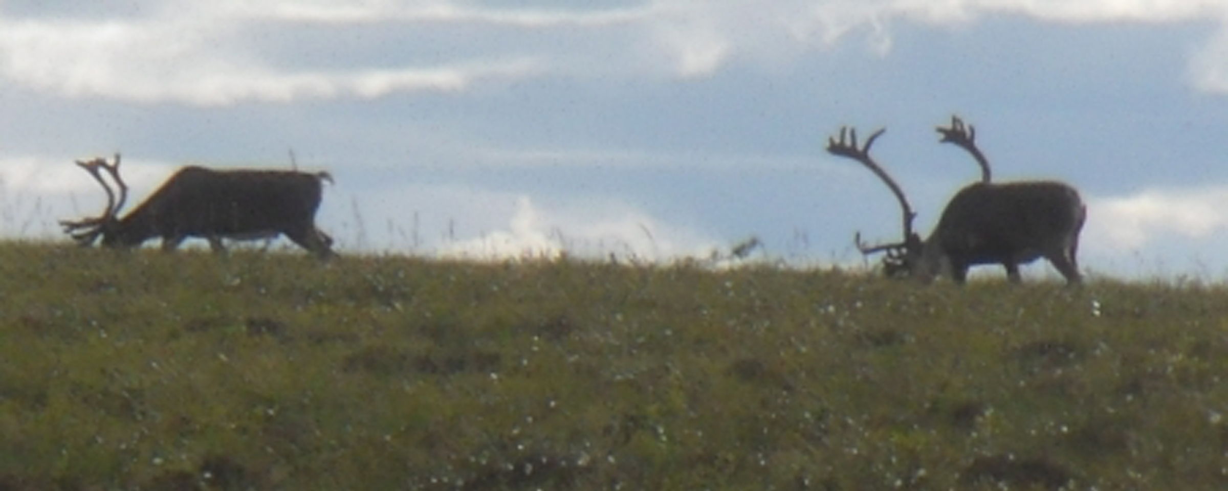 Caribou on the North Slope. Photo by Josh Dugat, courtesy of ARCUS.