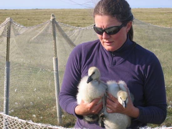 PolarTREC teacher Leslie Pierce holding snow goose goslings near Barrow, Alaska