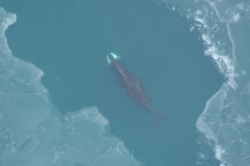 Bowhead whale surfacing in the Arctic Ocean