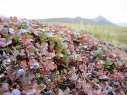 "Karl Horeis: ""The ground out here is often covered with many tiny plants. Some look like tiny ferns while others look like branches from little cedar trees. Note the ripe blueberries in the foreground, a favorite among bears (and archaeologists)."" Raven Bluff, Alaska. Photo by Karl Horeis"